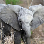 Young elephant in South Africa