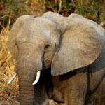 Elephant near Kruger NP