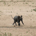 Baby elephant near Kruger NP in South Africa