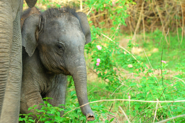 An Asian elephant calf stays close to mom. Photo courtesy of Amoghavarsha.