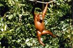Orangutan - Sepolik Rehab
