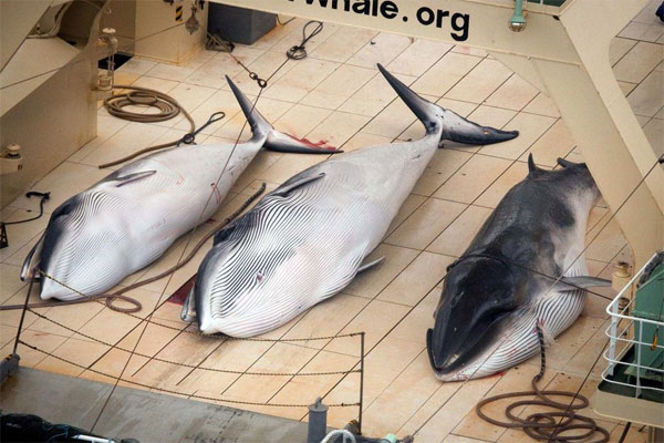 Japanese whale hunt stopped, for now