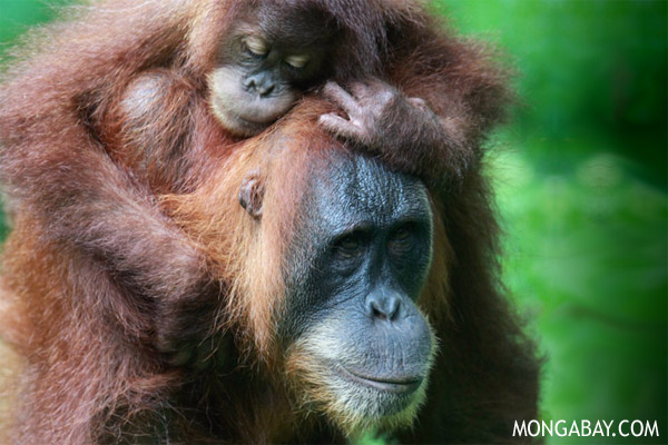 Baby orangutans, like this Sumatran orangutan on its mother's back, are often kept illegally in Indonesia.