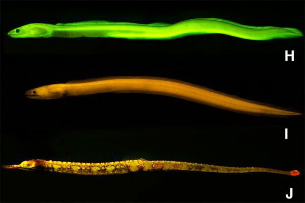 false moray eel (Kaupichthys brachychirus); I). Chlopsidae (Kaupichthys nuchalis); J). pipefish (Corythoichthys haematopterus)