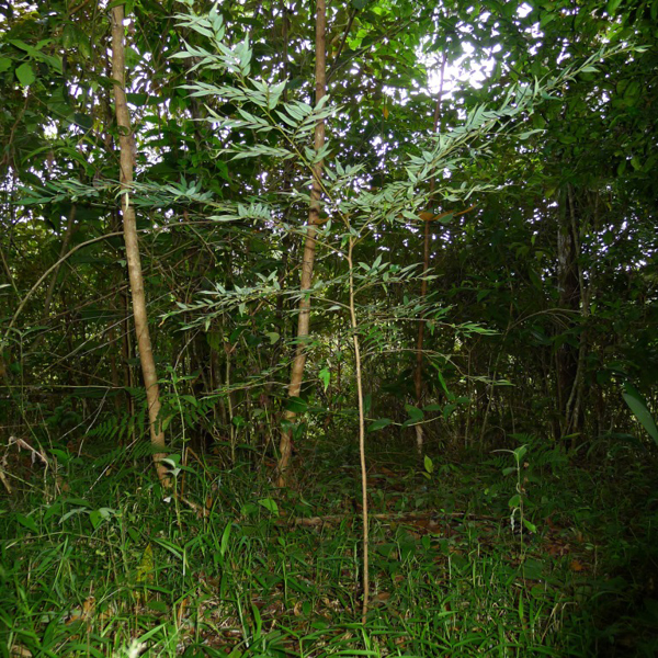 Sapling / regeneration of canopy tree (Xylopia frutenscens)  in understory of few years old secondary forest. Photo: Michiel van Breugel