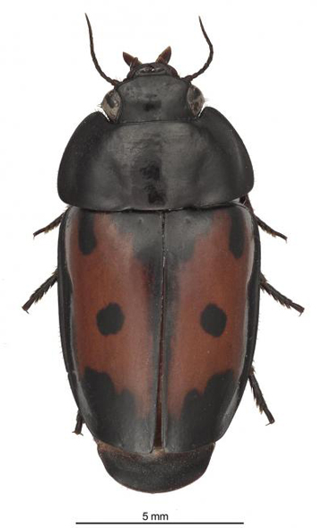Spectacular Guyane False-form beetle, a colorful new species found in French Guiana. Photo credit: Karolyn Darrow, Department of Entomology at the Smithsonian Institution.