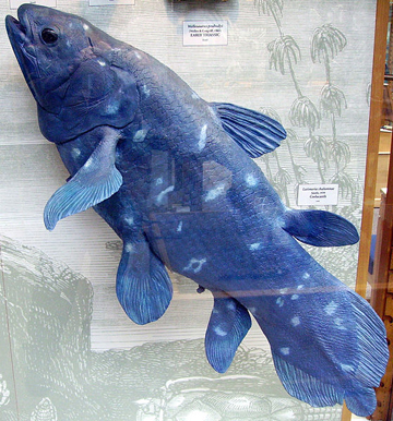The true colors of the Coelacanth, brought to life at the Oxford University Museum of Natural History. Photo under the GNU Free Documentation License.
