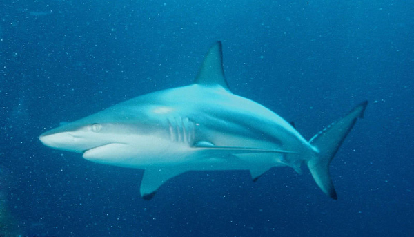 Another species of blacktip shark (Carcharhinus limbatus). Photo in the public domain.