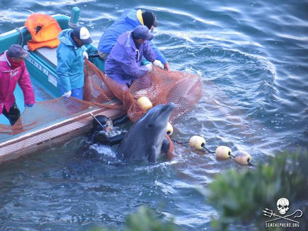 Taiji fisherman capturing a bottlenose dolphin. Photo courtesy of Sea Shepherd