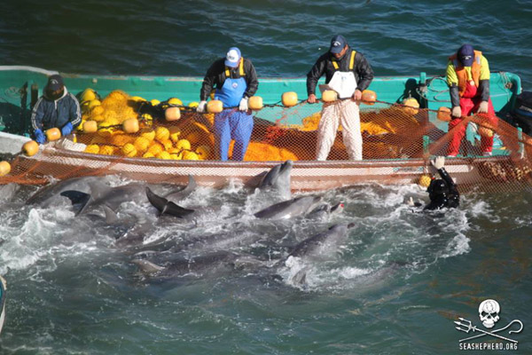Rounding up bottlenose dolphin in the Taiji cove