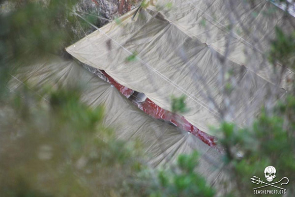 Fishermen put up tarps to obstruct the view of activists. But a gap in the tarp reveals blood-stained water.