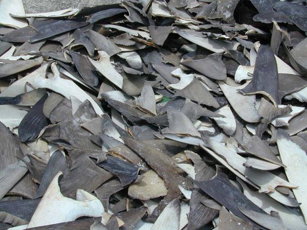 Aletas de tiburón del Parque Nacional de las Galápagos