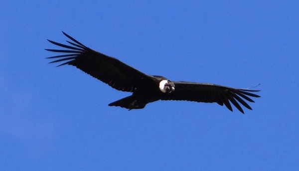 Key highland habitat for rare condor protected in Ecuador