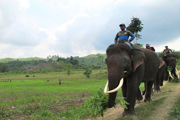 A number of trained elephants patrolling Aceh BKSDA repel wild elephants that went into the garden in Peudada bireuen residents. Photo: Chik Rini.