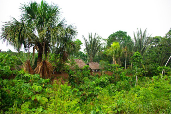 Useful palm species surrounding a traditional home in the Ecuadorian Amazon, Mautiria flexuosa (left, with large, palmate leaves), Oenocarpus bataua (center, with vertical leaves), and the fruit producing Bactris gasipaes var. gasipaes (on the right, in between two O. bataua trees). Photo credit: Rodrigo Cámara-Leret