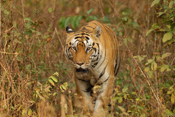 Tiger. Photo credit: Aditya Joshi
