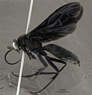 This image shows the gorgeous black new wasp species Abernessia capixaba. Credit: Felipe B. Fraga/Cecilia Waichert.