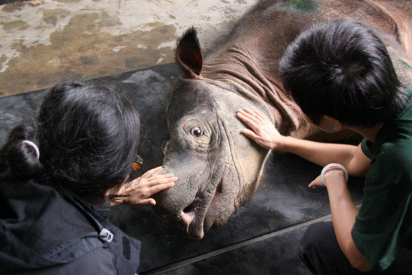 Critically endangered Sumatran rhino in Sabah.