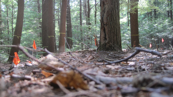 One of Averill's field sites: The forest floor beneath an old-growth hemlock stand at the Harvard Forest, a 3,000 acre ecological research area located in Petersham, Massachusetts that is owned and managed by Harvard University.  Photo credit: Courtesy of Colin Averill