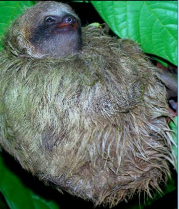 A three-toed sloth. Photo by: Jonathan Pauli.