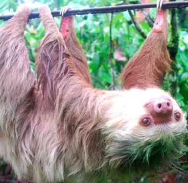 A two-toed sloth. Photo by: Jonathan Pauli.
