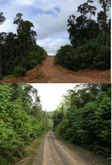 A recently cleared logging road without P. aduncum (top), and an older logging road with heavy growth (bottom). Photo by: Padmanaba and Sheil.
