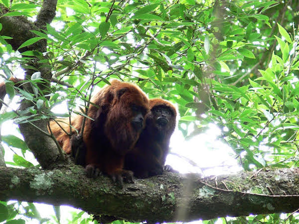 Male and female brown howler monkeys (Alouatta guariba clamitans). Photo by: Ilaria Agostini.