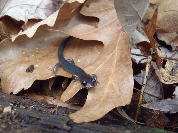 This Northern gray-cheeked salamander, P. montanus, is one of the native Appalachian mountain range salamander species that has gotten significantly smaller, according to field research and studies of museum samples by Associate Prof. Karen Lips and colleagues. Photo by: Nicholas M. Caruso.