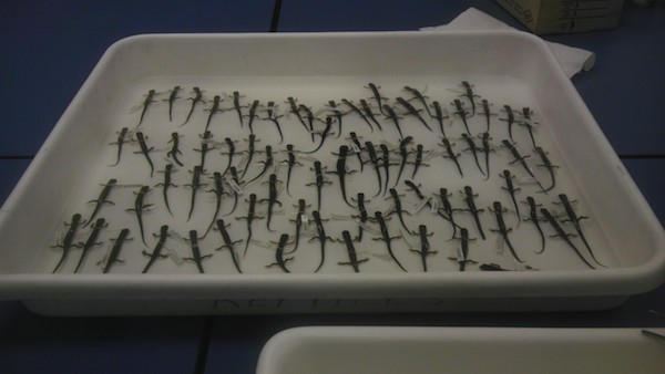 This tray of Northern gray-cheeked salamanders, collected decades ago by Prof. Richard Highton, are stored in a Smithsonian Institution facility in Suitland, MD. Karen Lips and colleagues used them to show that Appalachian salamander species are getting smaller in response to climate change. Photo by: Nicholas M. Caruso.