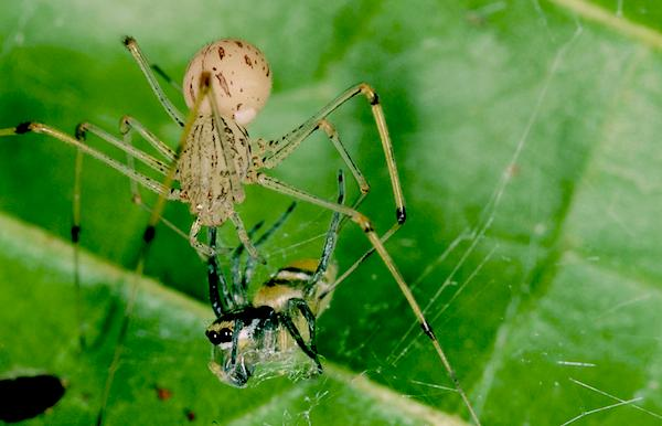 A spitting spider (Philippine Scytodes) about to feast on a jumping spider. Photo by Ximena Nelson.