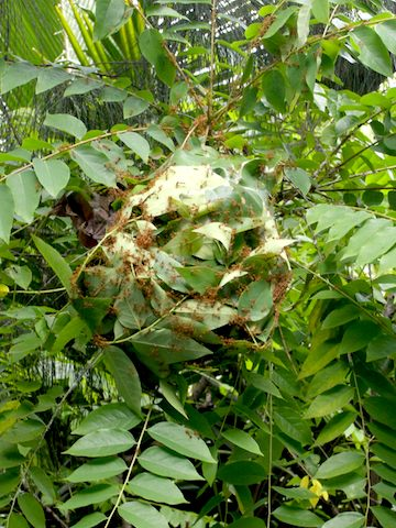 A weaver ant nest in Thailand. Photo courtesy of HAH.