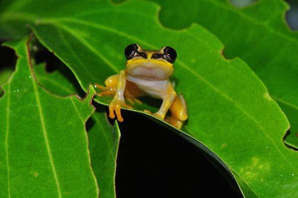 Madagascar reed frog (Heterixalus madagascariensis). Photo courtesy of Jonathan Kolby.