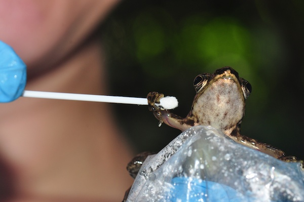 A Mantidactylus majori frog is getting swabbed to test for the presence of chytrid fungus. Photo courtesy of Jonathan Kolby.