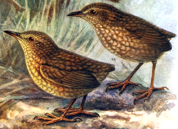 The Stephens Island Wren (iXenicus [Traversia] lyalli/i) was a flightless, nocturnal bird limited to one small island off the coast of New Zealand. It was driven to extinction by cats in the late 1800s.