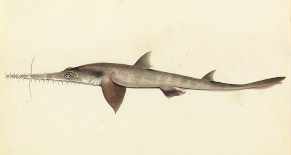 Sawsharks may use their jagged snout to stun prey, detect electrical signals, and for defense.