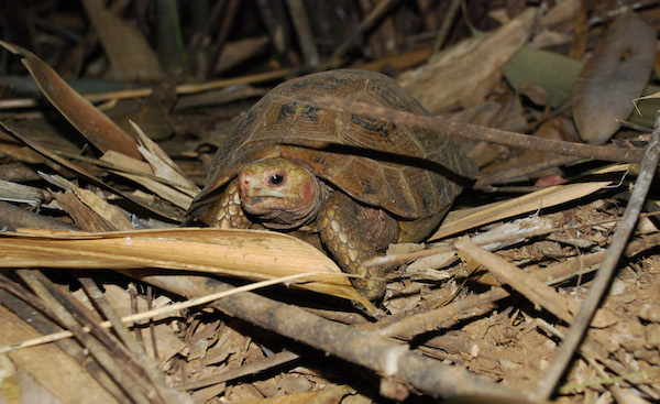 A Travancore tortoise in leaf litter.  Photo by A. Kanagavel.