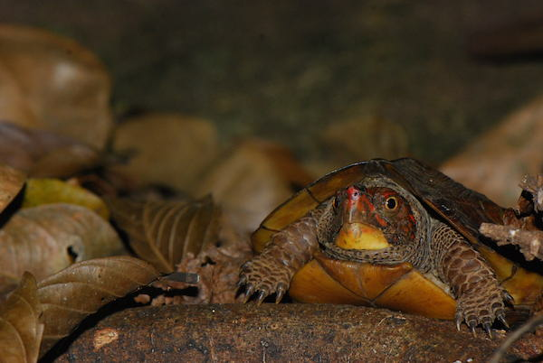 A Cochin forest cane turtle (Vijayachelys silvatica). Photo by A. Kanagavel.