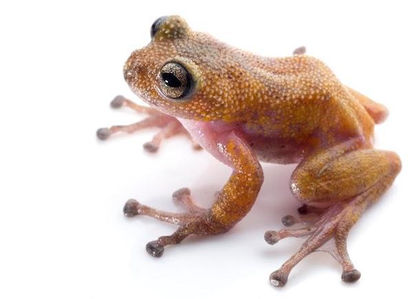 Thorny tree frog (Gracixalus lumarius). Photo by Jodi Rowley/Australian Museum Research Institute.