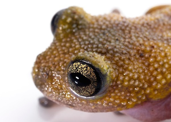 The thorny tree frog was so named because of the tiny spikes covering its body. Photo by Jodi Rowley/Australian Museum Research Institute.