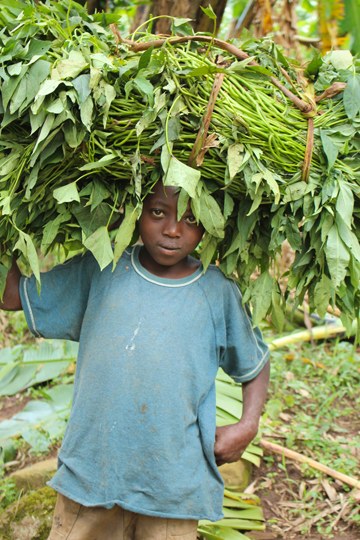 CA Ugandan child collects sweet potato vines near Bwindi Impenetrable National Park.