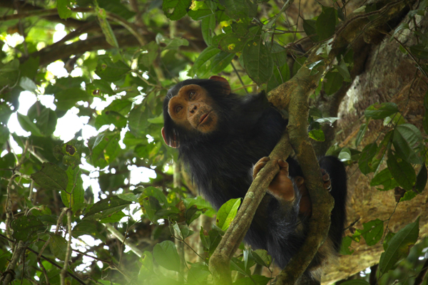A chimpanzee relaxes in Budongo forest, a reserve with a relatively large population of the animals. JGI is promoting reforestation of other forests nearby in hopes chimps will return to those areas as well.
