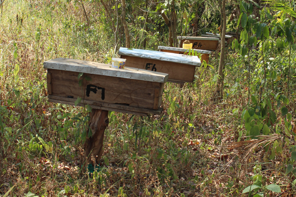 Some families participating in the JGI's Sustainable Livelihoods project received beehives so they could produce and sell honey. This not only helps improve family incomes, but also reduces local residents' need to illegally harvest honey from the forest.