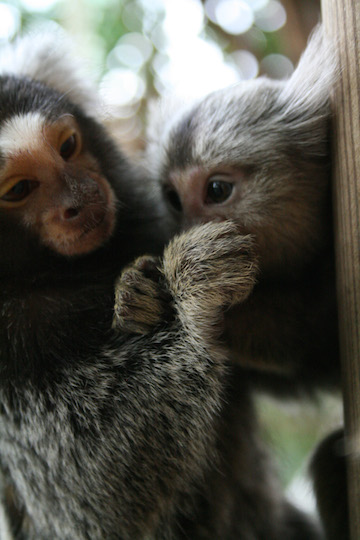 Marmosets commonly give birth to two non-identical twins. Photo by Manfred Werner.