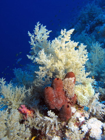 Not all corals are hard. Cnidarin was derived from a soft coral, similar to this. Photo by Derek Keats.