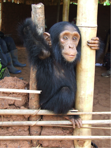 Orphaned chimpanzee kept as a pet at the house of a traditional chief, at Lisala on the