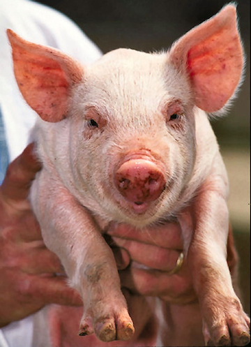 Pork accounts for 38 percent of worldwide meat production. Perhaps this pig's descendants will be used for establishing stem cell lines for meat culturing.