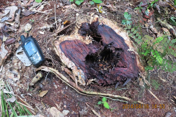 Recently cut rosewood tree in the rainforest of Madagascar