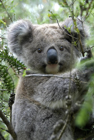 Tree-huggers: koalas cuddle up to keep cool