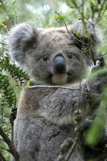 Tree-huggers: koalas cuddle up to keep cool