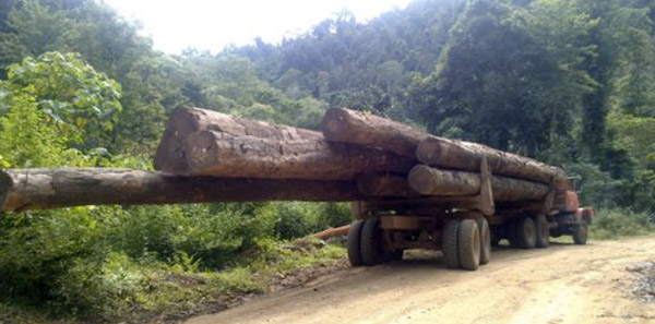 Logs being transported on a road was built by PT Sawindo Cemerlang.